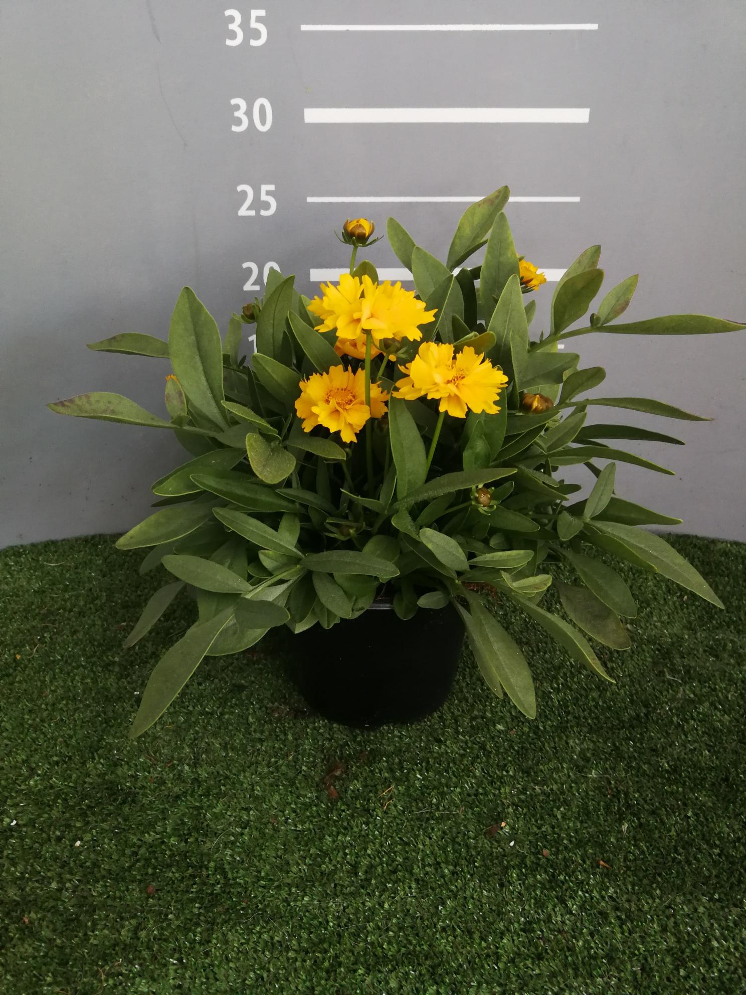COREOPSIS vaso 14