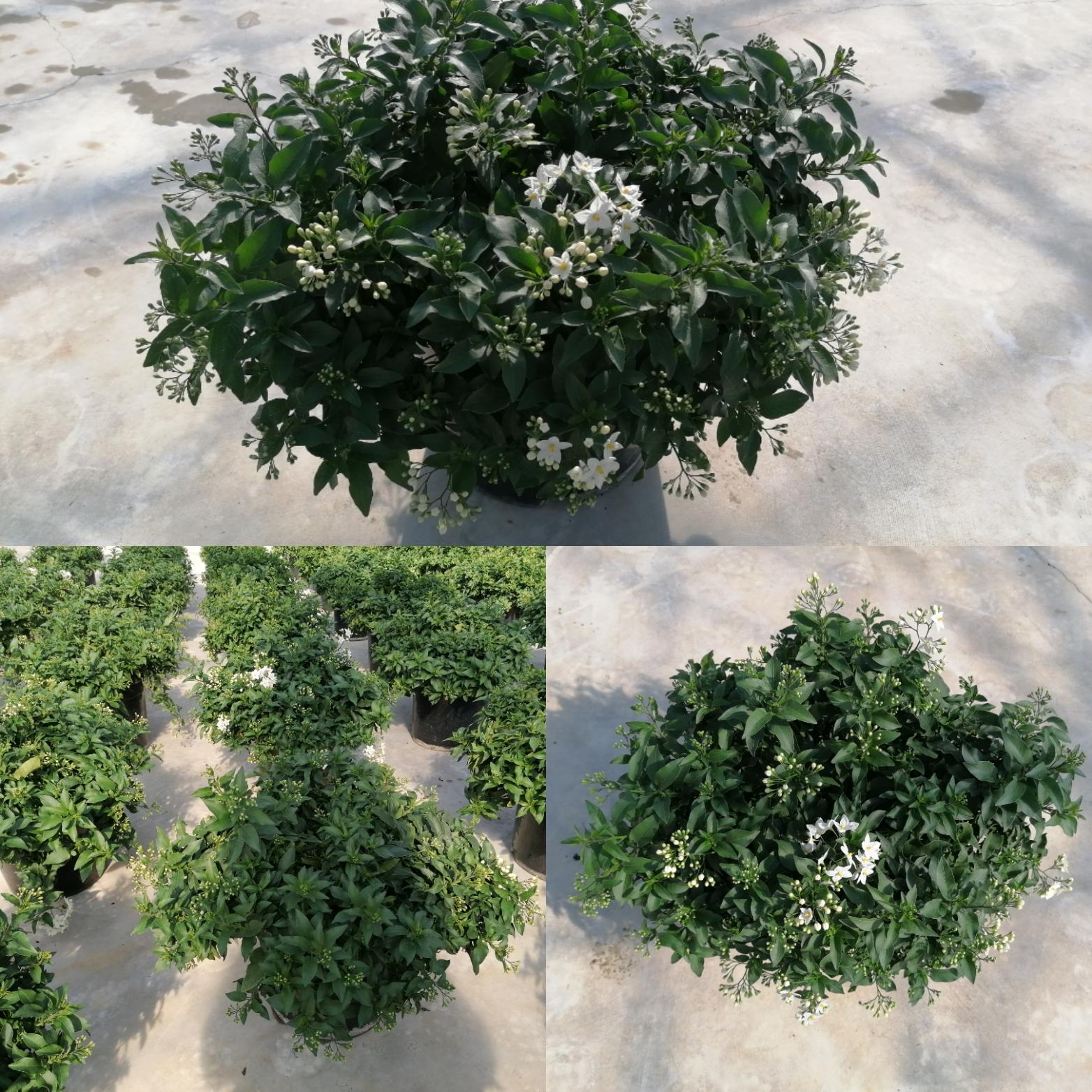 Solanum JASMINOIDES vaso 30